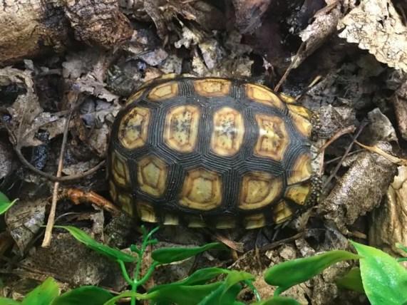 Bells Hingeback Tortoise 4
