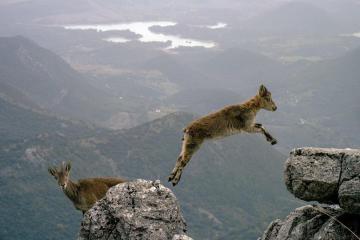 Ziege springt hoch in den Bergen von Fels zu Fels