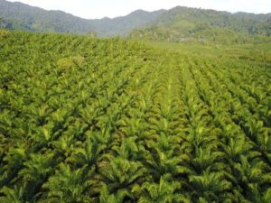 Palm oil – Word of the day - EVS Translations