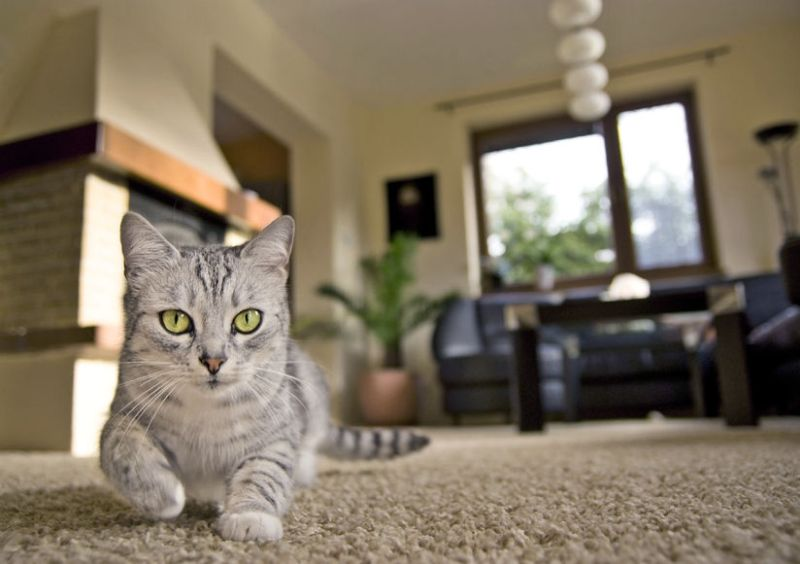 29210324 – cat walking on the carpet in living room
