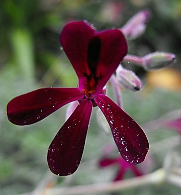 pelargoniumsidoides-creative-commons-wikimedia-org