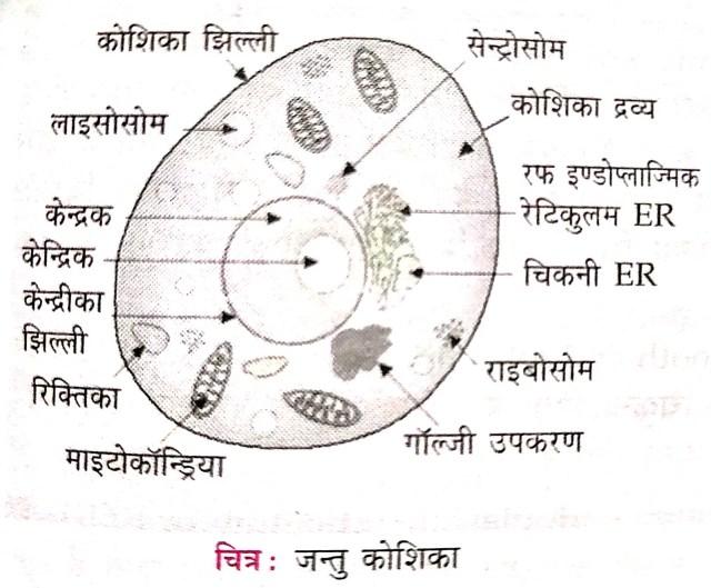 जंतु कोशिका और पादप कोशिका