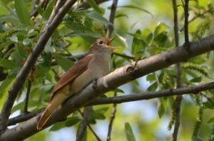Photographer Noel Reynolds caught this Nightingale mid-song, with its beak wide open.