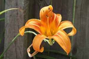 The lily is beautiful, although its time on earth is limited, just like ours.