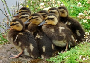 """Ducklings Photo taken by Flickr.com user """"countrygirlatheart"""" June 7, 2007 Creative Commons License"""
