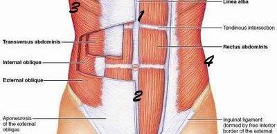 gordura abdominal Tipos de gordura abdominal