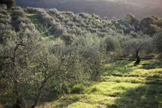 meraviglie_olivetrees