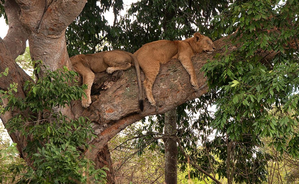 queen elizabeth national park Ishasha Tree Climbing Lions