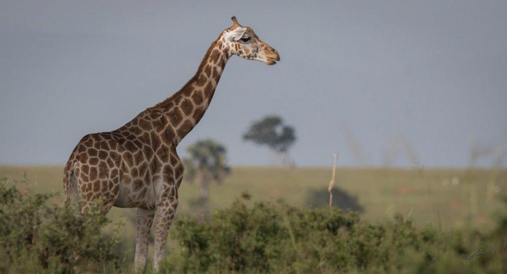 Uganda wildlife safari experience