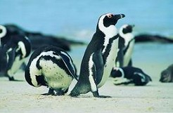 gallery-cape-penguins