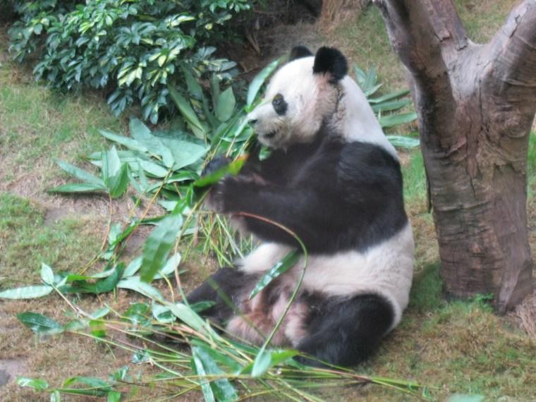 giant panda ocean park