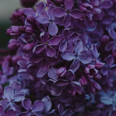 Lilas – Syringa vulgaris