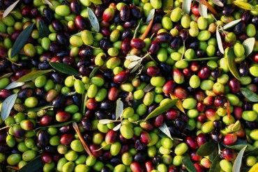 55 najbardziej interesujących faktów o oliwkach
