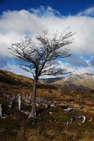 Noch ein Baum beim Lago Esmeralda