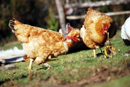 Chicken Dance (eigentlich kämpfen sie um eine Bananenschale)