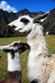 Großes und kleines Lama