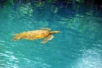 Meeresschildkröte 1