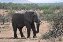 Lonesome Elephant