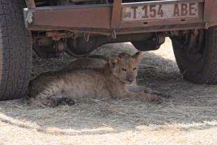 Lion baby rests under car