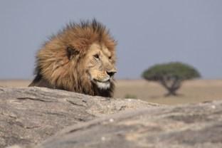 Simba with Babul Tree