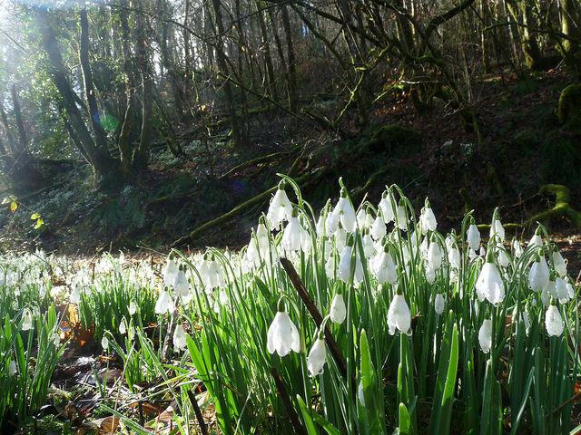 Snowdrop Valley, Exmoor
