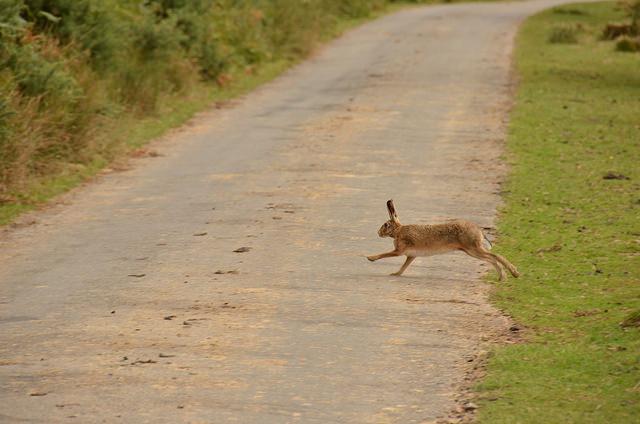 Hare, Exmoor