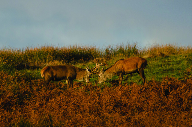 Red Deer Stags, Exmoor