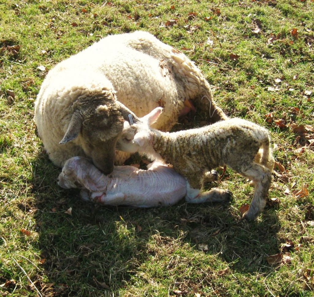 West Withy Farm - Daisy and her very newborn lambs - March 2013
