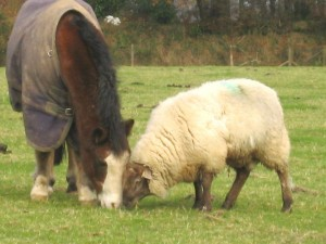 Socks, the ram lamb at West Withy Farm with his replacement Mum. October 2013.