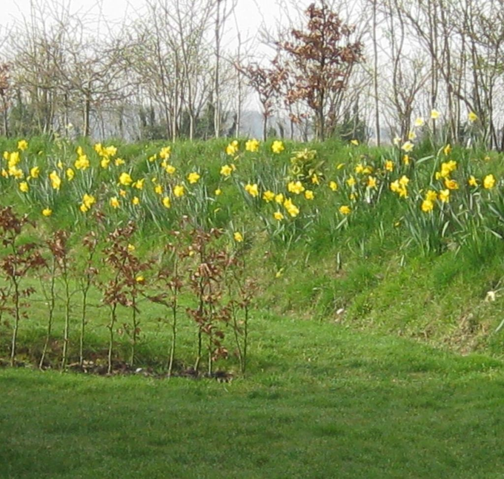 Daffodils on banking around Upton Cottage, West Withy Farm. Spring 2014