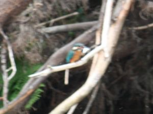 Kingfisher on lake at Exmoor self catering cottages