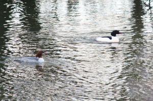 Ducks on West Withy Farm lake
