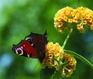Peacock butterfly on Buddleia x weyeriana 'Sungold'