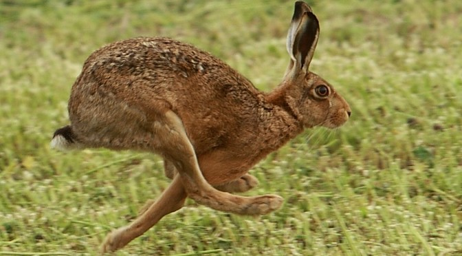 Hare today, gone tomorrow?
