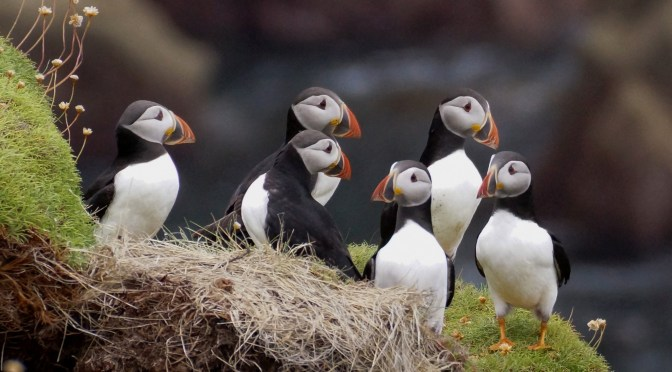 SEABIRDS FLOCK BACK TO LUNDY ISLAND