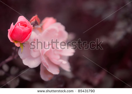 stock-photo-pink-rose-buds-85431790