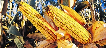 7298-monsanto-droughtgard-corn-072212