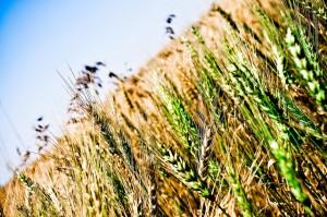 flickr-wheat-field-shuttrkingkt-300x199