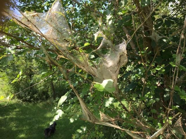 web worm web