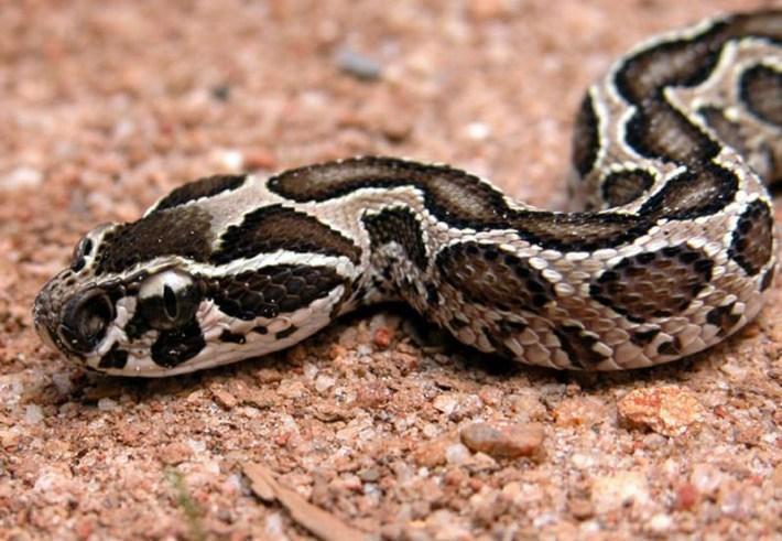 https://i1.wp.com/www.exotic-animals.org/kace/opis_vrst/redlion_moreliaviridis_2006_novi_opisi/DABOIA_RUSSELLI/daboia.jpg?w=710