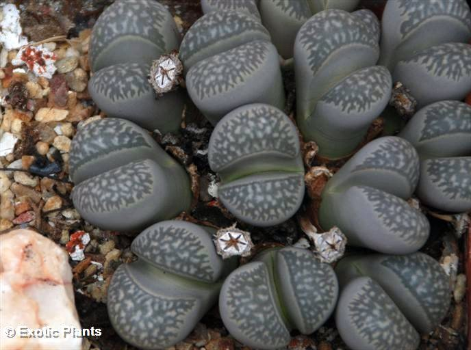 https://i1.wp.com/www.exotic-plants.de/auktionsbilder/Lithops_marmorata2_large.jpg