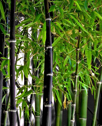 Image result for phyllostachys nigra