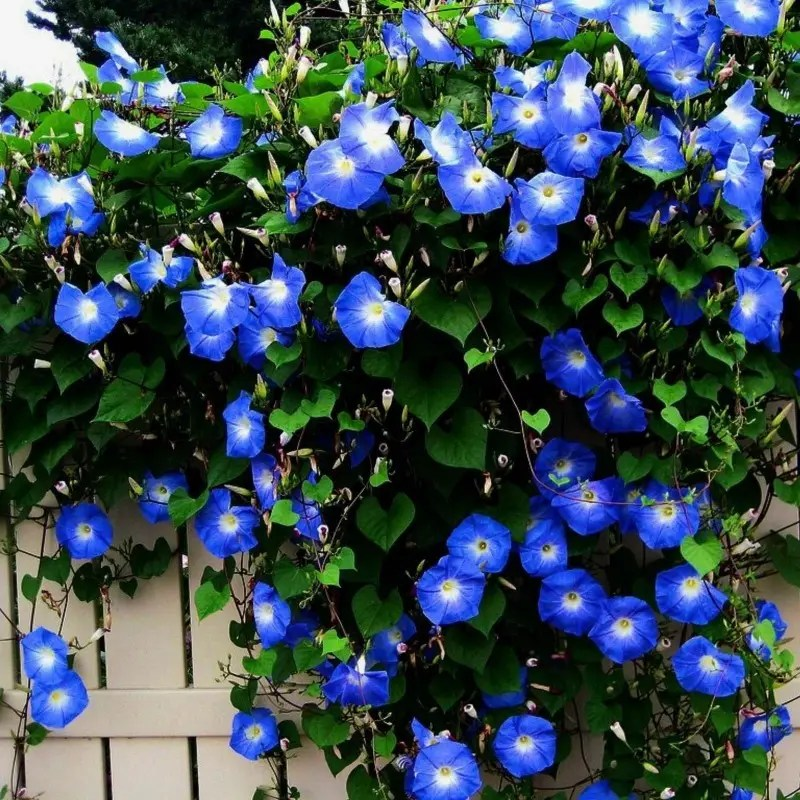 Grannyvine Or Morning Glory Seeds Price 1 95