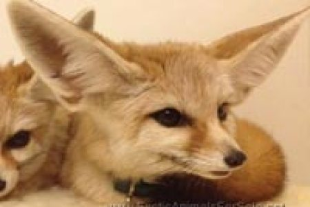 fennec fox animals pets path decorations pictures full path