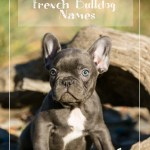 Top Blue French Bulldog Names Exotic French Bulldogs Blue French Bulldogs