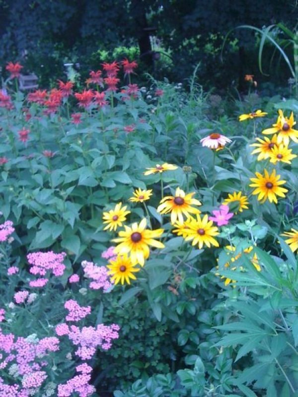 Red Bee Balm, Pink Yarrow, Echinacea, Roses and Rudbeckia growing in the front garden.