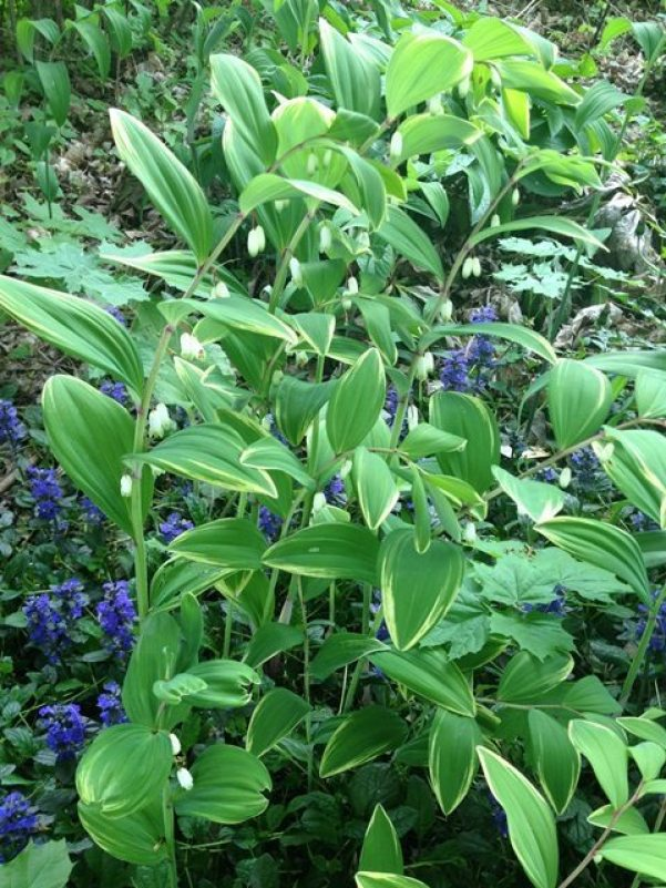 Variegated Solomon's Seal growing above ajuga.