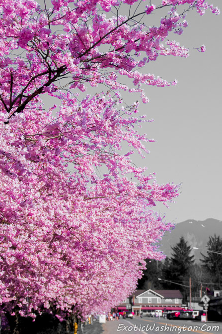 Fall City, Seattle, United States, Washington, USA, WA, Pacific Northwest, PNW, Photography, Travel, Scenic, Travel Photos, Sureal, Pink, Lumaca Moderno, Lumaca Photography, Cherry Blossom