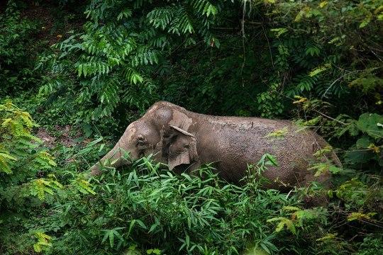 elephant kaeng krachan