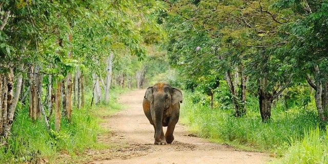 elephant kui buri